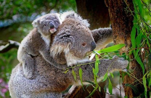 Бесплатное стоковое фото с дерево, дикая природа, животные, коалы