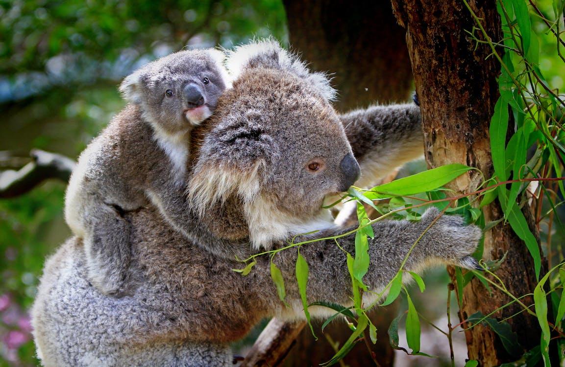 Mother Kangaroo Carrying Baby Kangaroo
