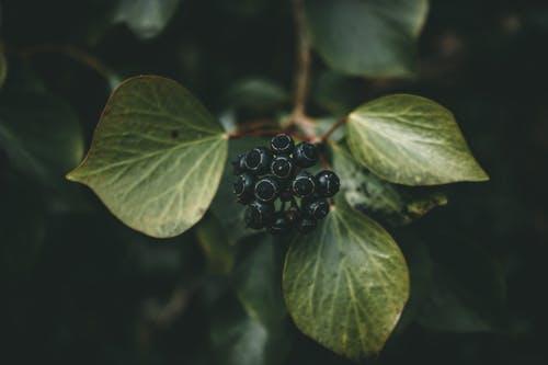Black Round Ivy Fruit with Green Leaves