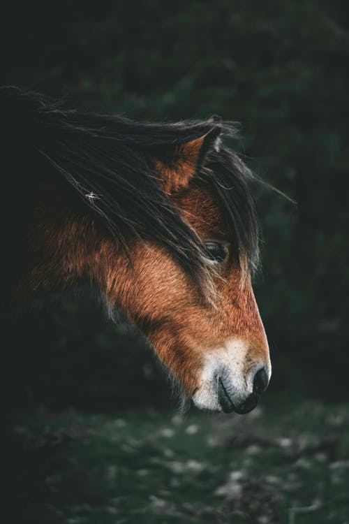 Brown Hairy Head of Horse