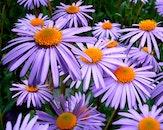 nature, flowers, macro