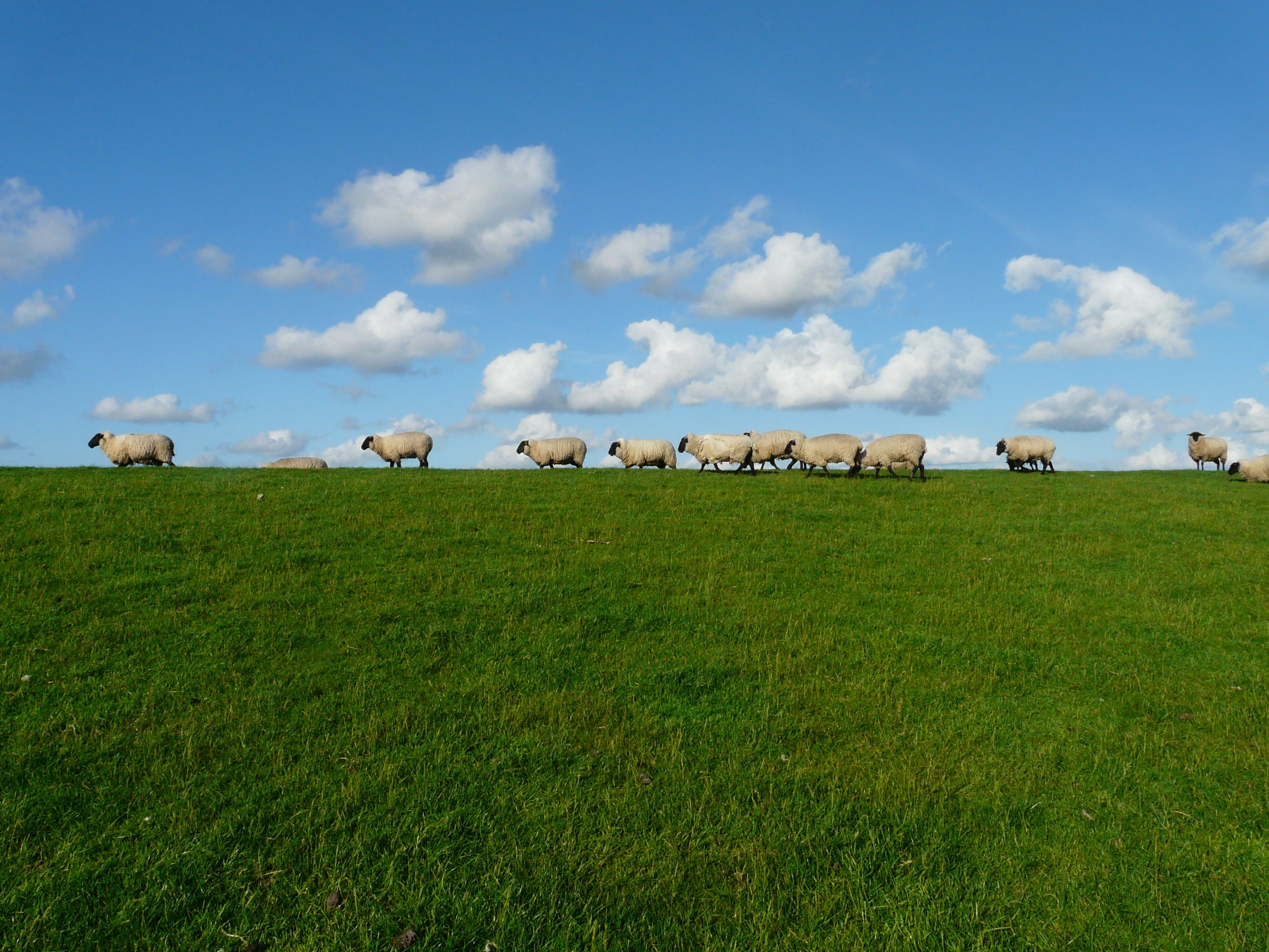 11 White Sheep in the Grass Field