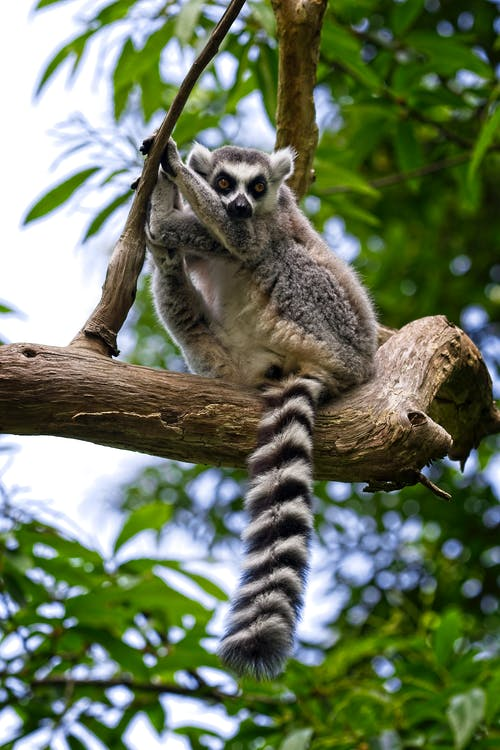 Gray and White Lemur on Brown Tree Branch