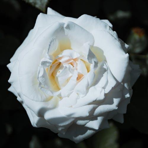 Photos gratuites de belle fleur, délicat, fleur
