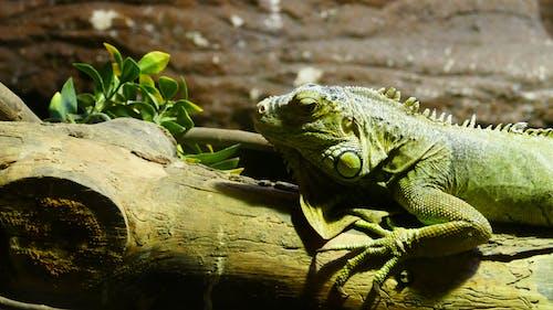 Free stock photo of amphibian, animal, exotic