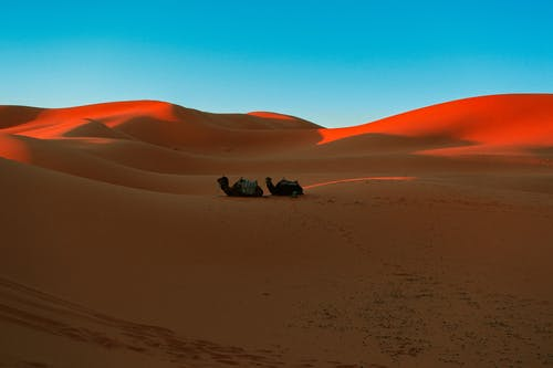 Silhouette of Camels Sitting on the Desert