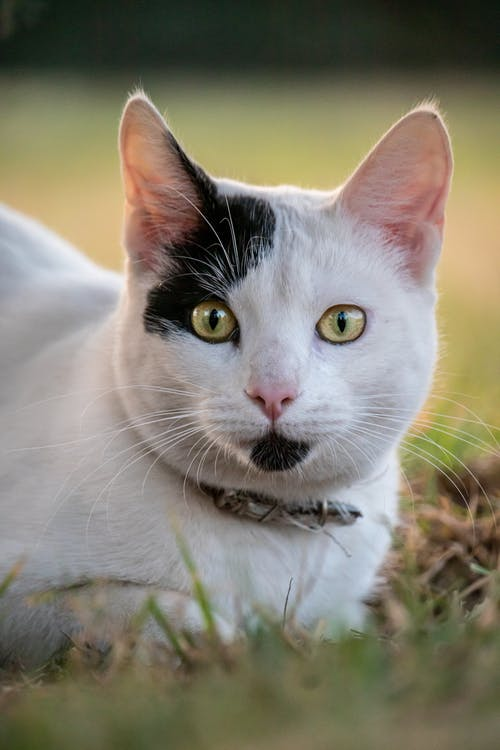 Close-Up Shot of a White Domestic Cat Sitting on the Grass