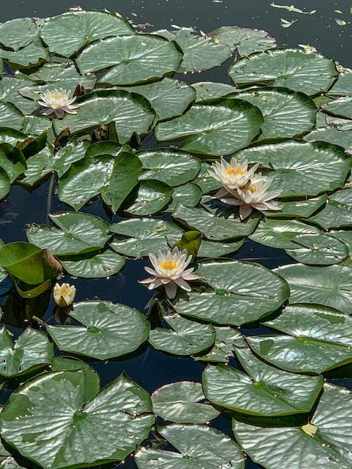 Immagine gratuita di acquatico, bellissimo, botanico
