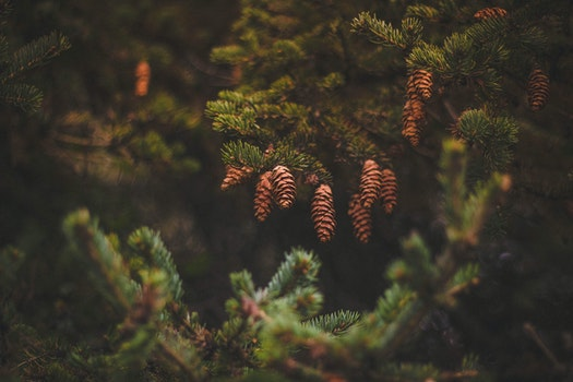 Brown Pine Cones on Green Trees