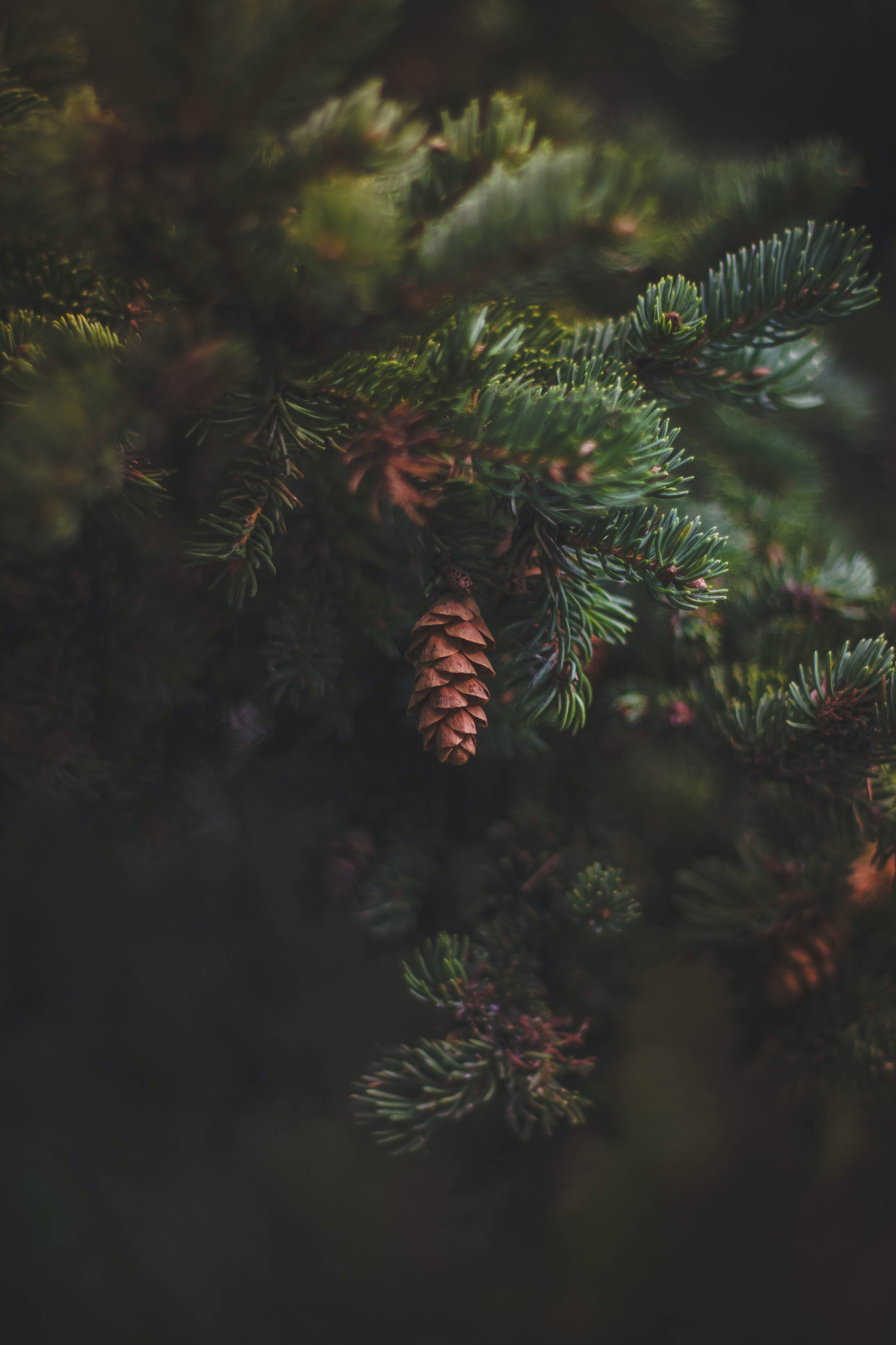 Closeup Photo of Pine Tree