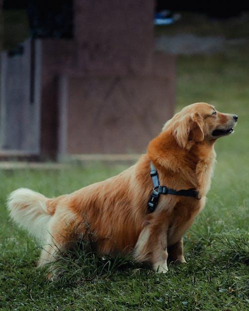 ゴールデンレトリバー, ペット, 動物の無料の写真素材