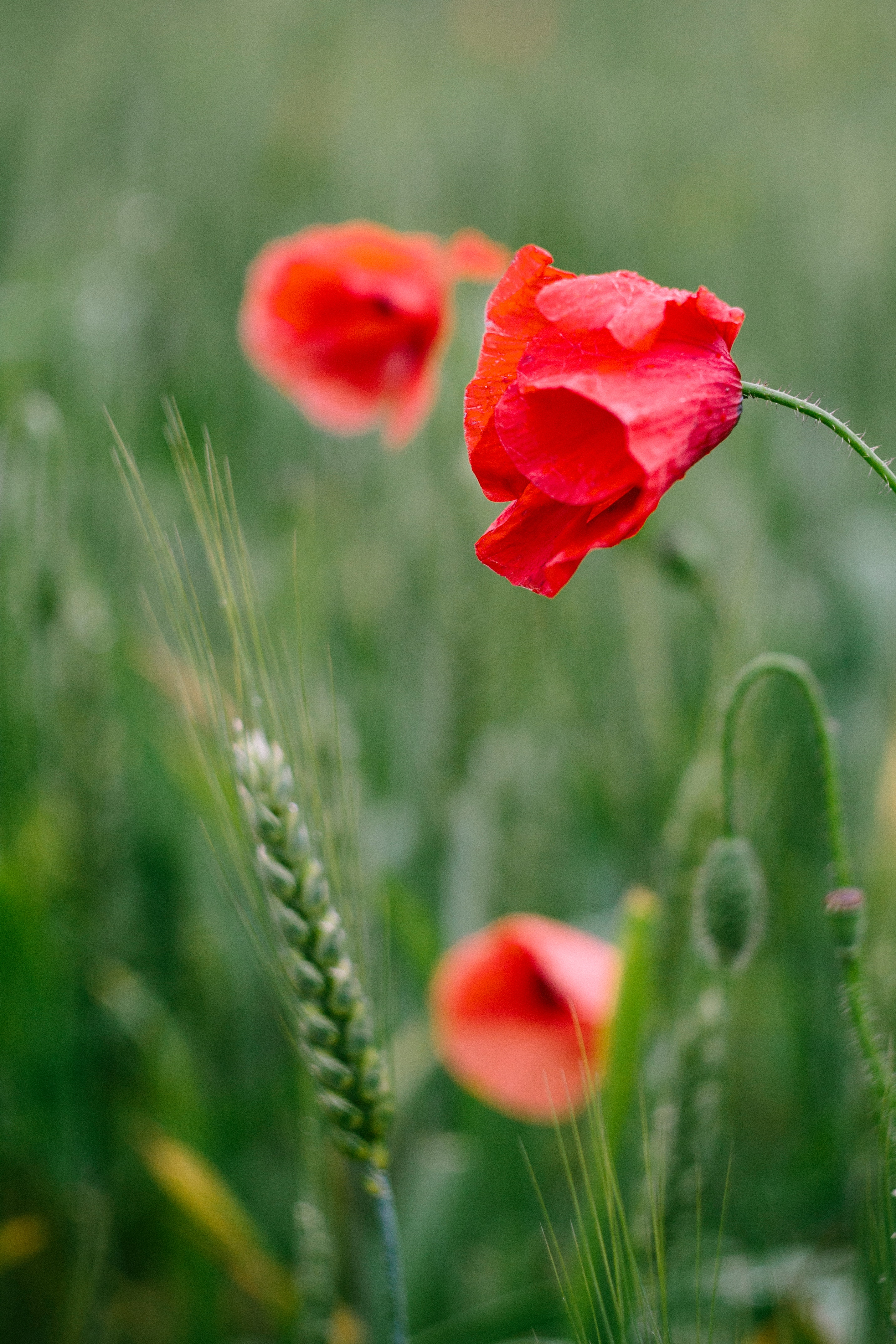 Free stock photo of flowers nature poppy flower free download mightylinksfo