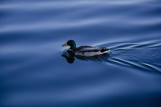 Free stock photo of water, animal, lake, duck
