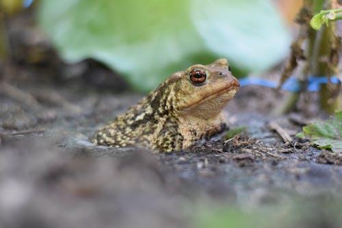 Kostenloses Stock Foto zu amphibisch, dichter wald, frosch