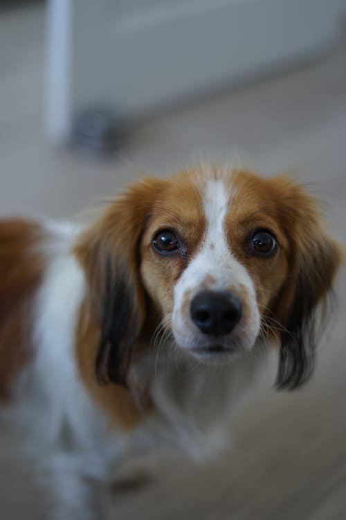 From above of adorable Kooikerhondje dog with brown muzzle and white spots standing in room at home on blurred background
