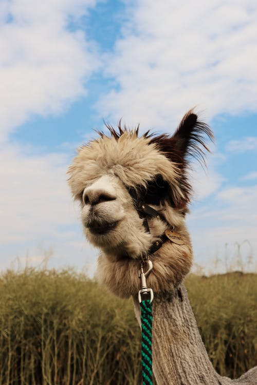 White and Brown Llama With Blue Leash