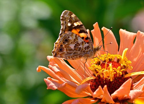 Close-Up Shot of a Butterfly on an Orange Flower