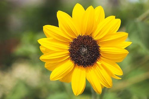 Macro Shot of a Vibrant Sunflower