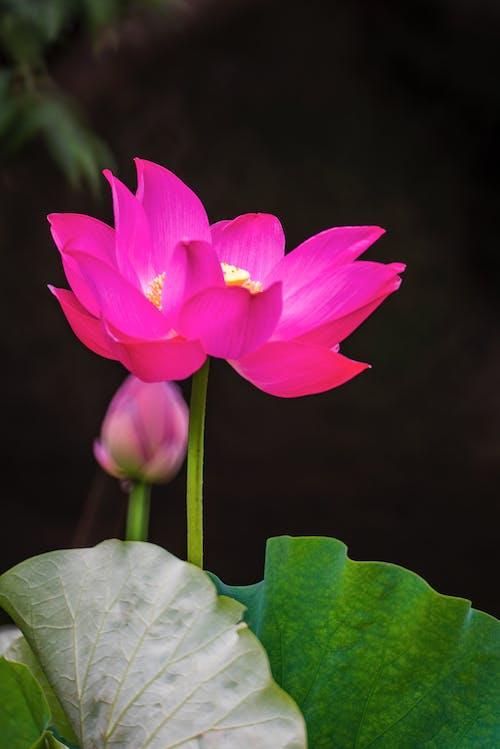 Close-Up Shot of Pink Lotus Flower in Bloom