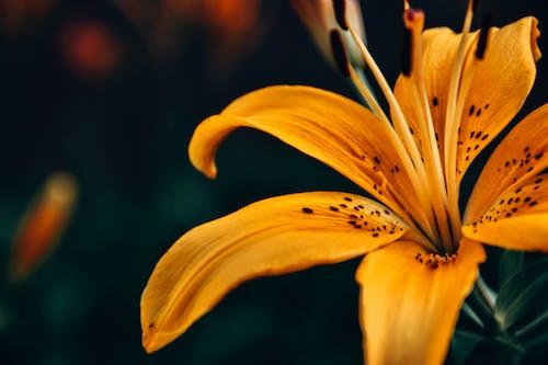 Macro Shot of an Orange Tiger Lily in Bloom