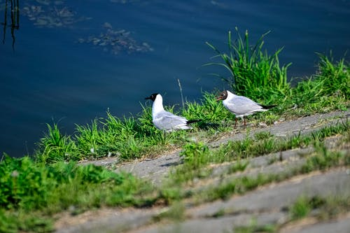 Two Black-Headed Gulls Standing near the Water