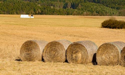 Ingyenes stockfotó aratás, bála, búza témában