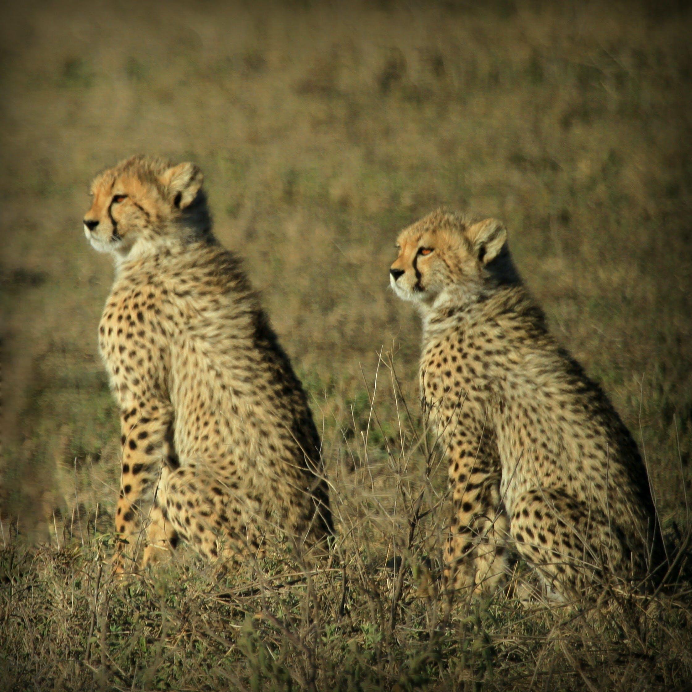 Kostenloses Stock Foto zu gepard, gepardjagd, junger gepard, masaai mara
