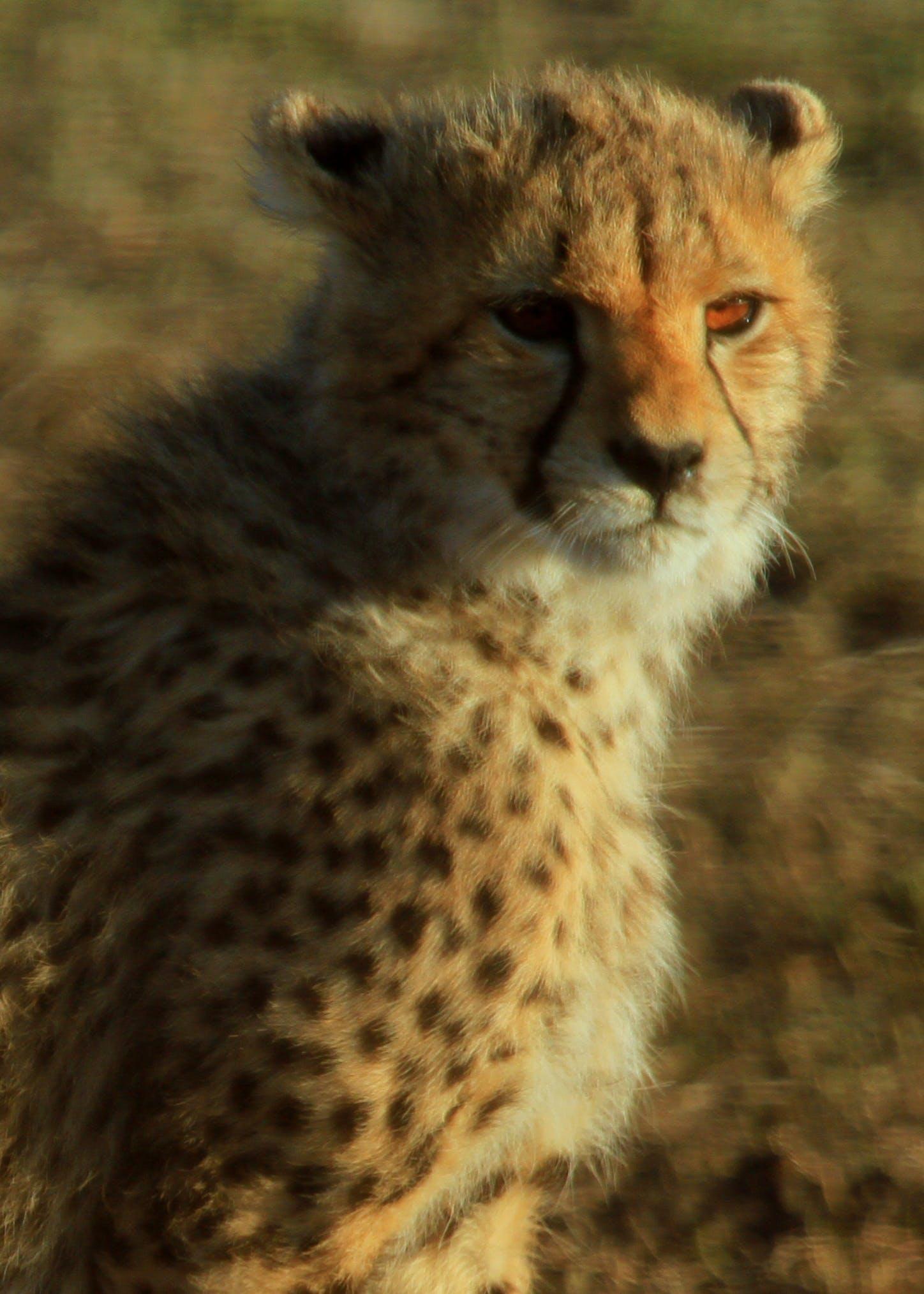 Kostenloses Stock Foto zu baby gepard, gepard, gepardenaugen