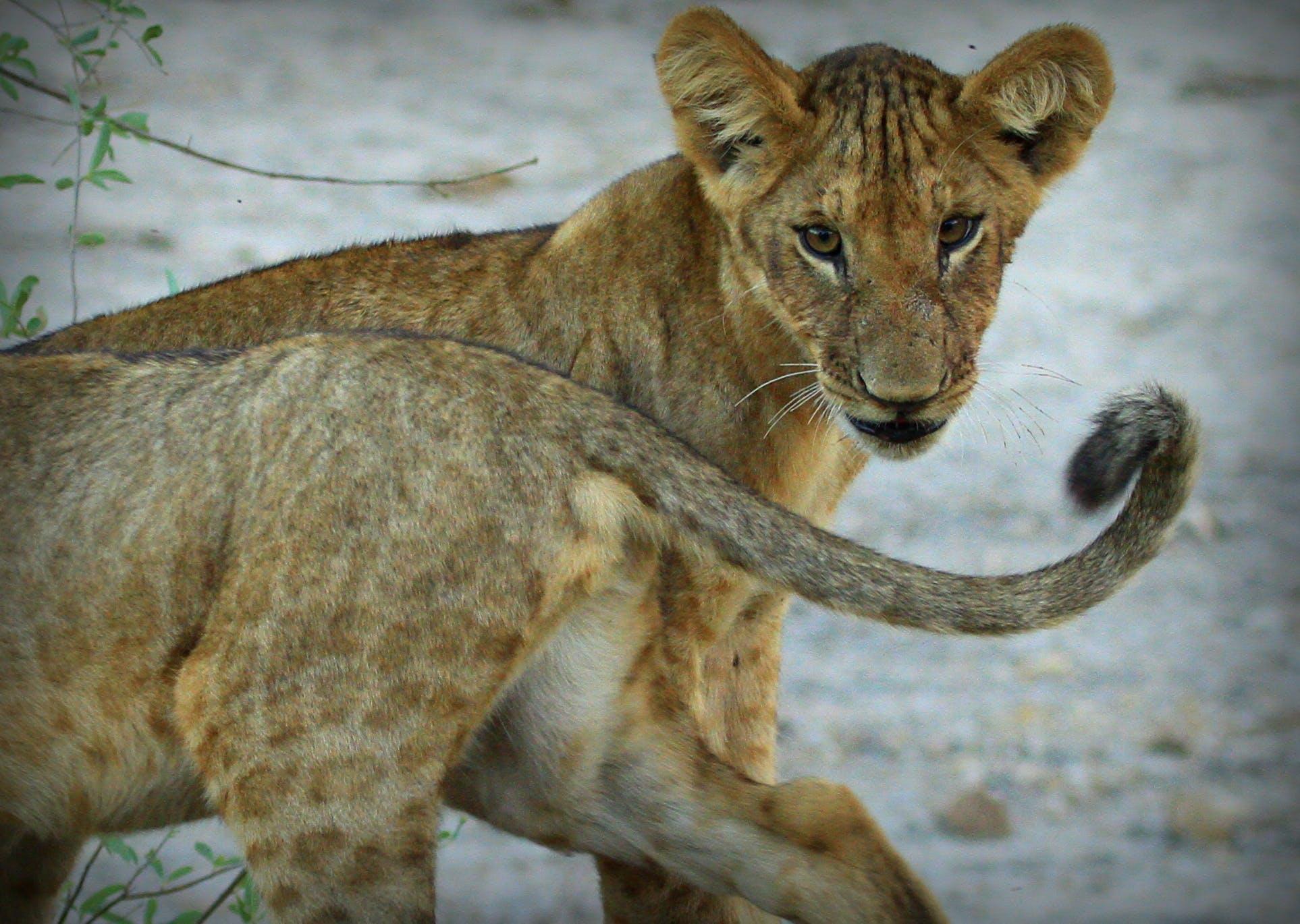 Kostenloses Stock Foto zu afrika, junge, junger löwe, löwenschwanz