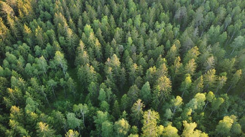 Aerial View of a Coniferous Forest