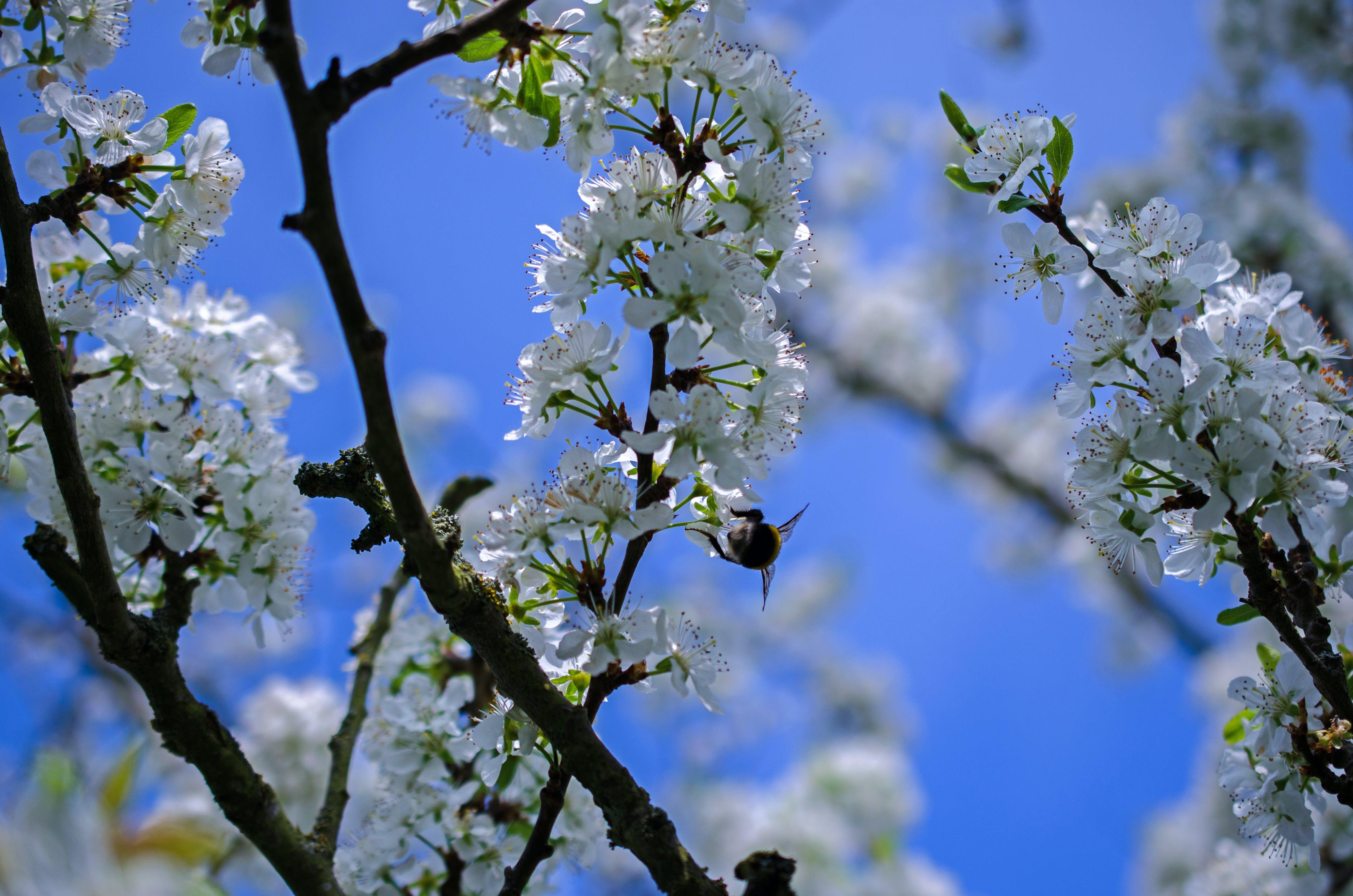 Kostenloses Stock Foto zu ast, biene, blau, blüten