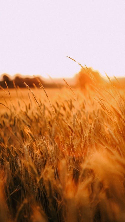 Gratis lagerfoto af bane, hvede, landbrug