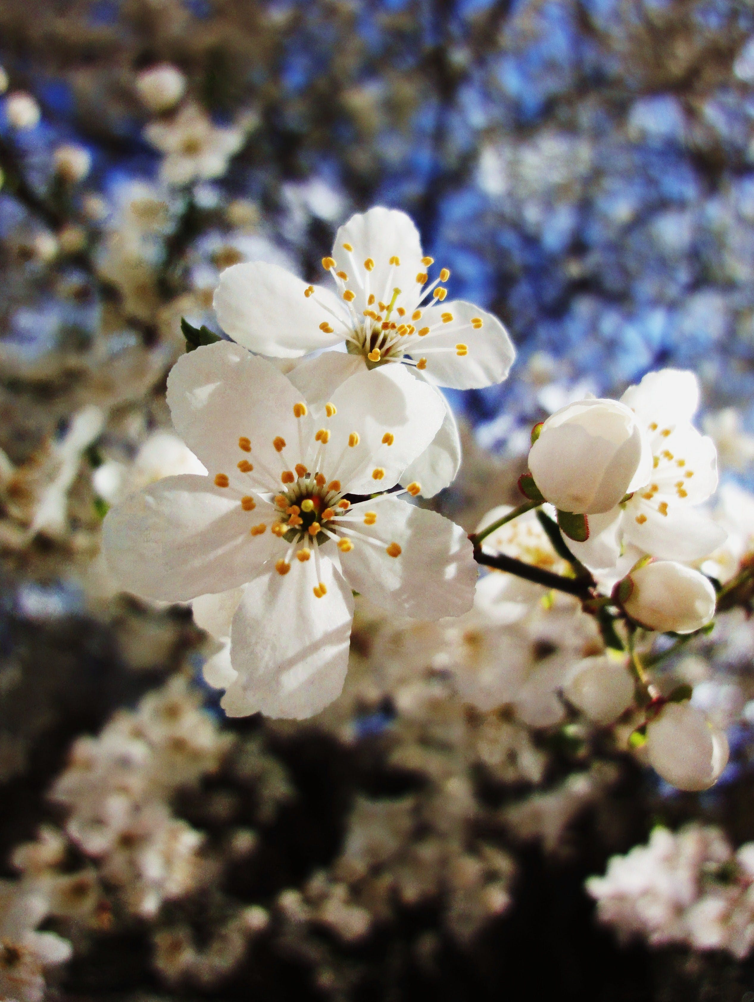 Free stock photo of branches, flowers, tree, white