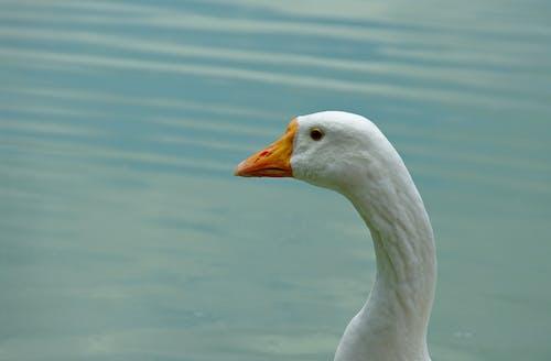 Close-Up Shot of a Goose