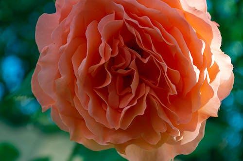 Macro Shot of a Pink Garden Rose in Bloom