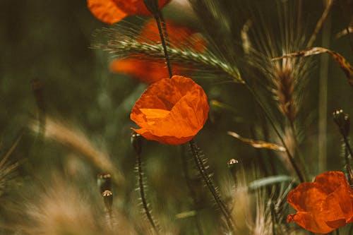 Close-Up Shot of Orange Poppies