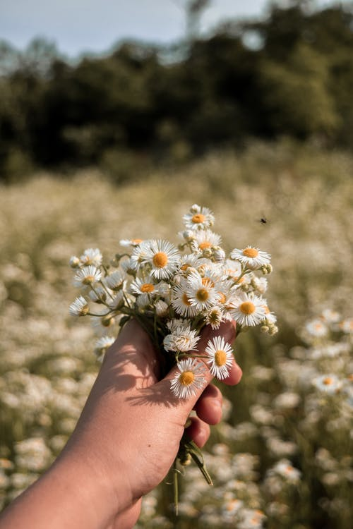 Close-Up Shot of a Person Holding Chamomile Flowers