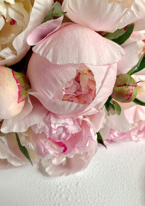 Close-Up Shot of Pink Peonies in Bloom