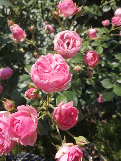 Close-Up Shot of a Pink Roses in Bloom