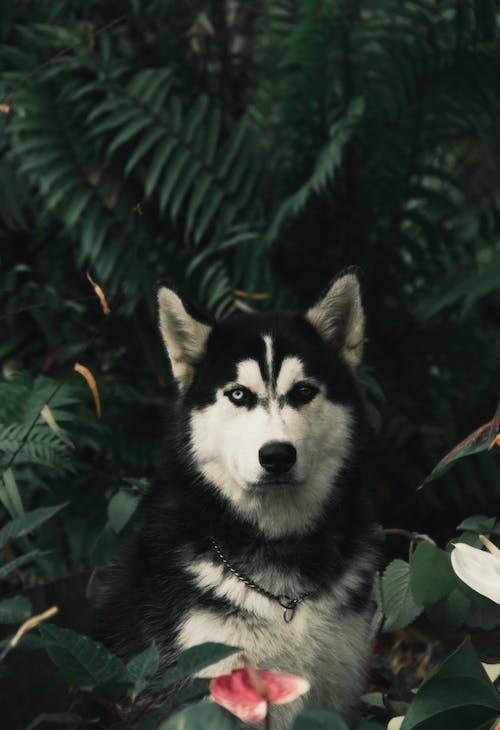 Close-Up Shot of a Siberian Husky