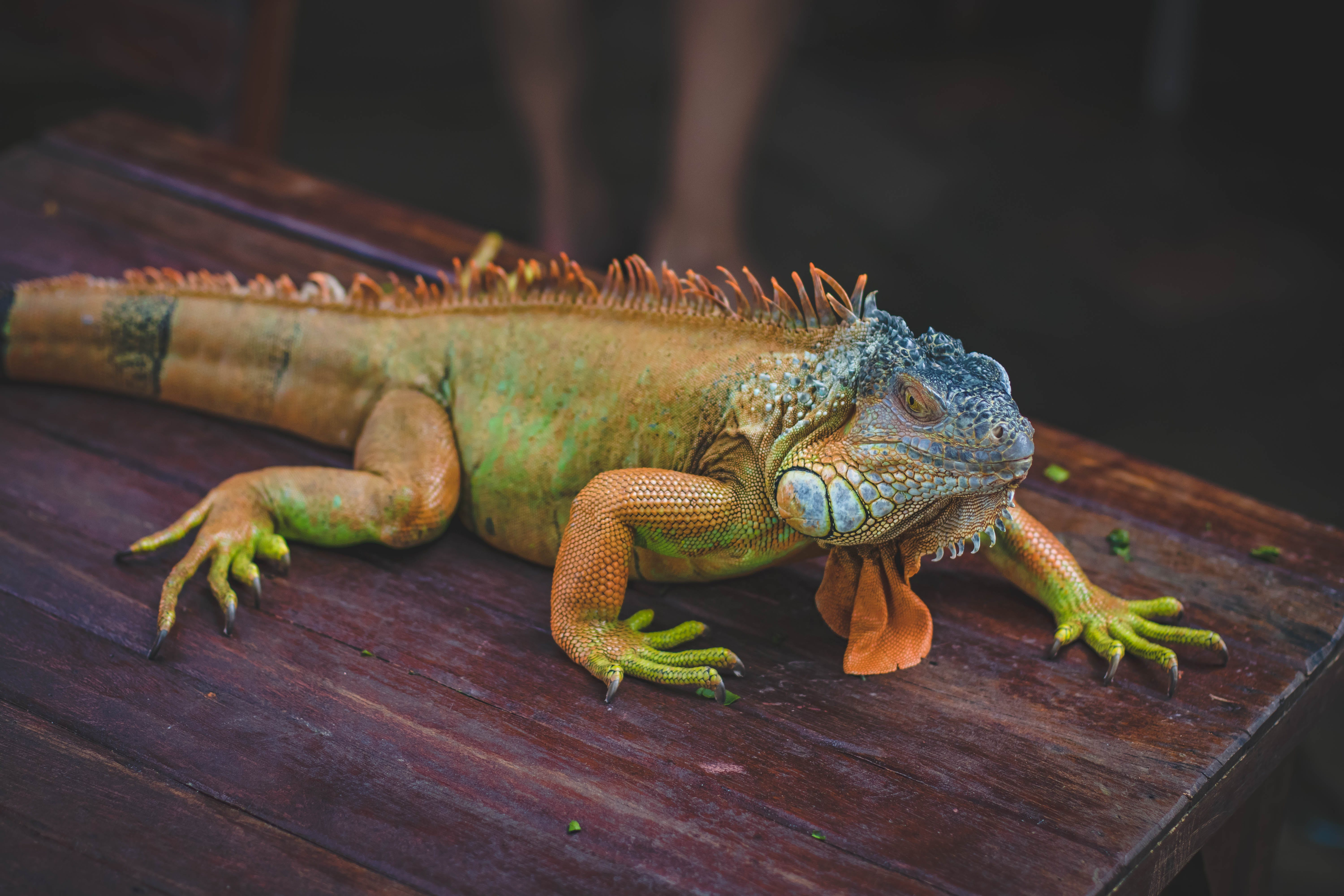 Green Iguana On Brown Wooden Table