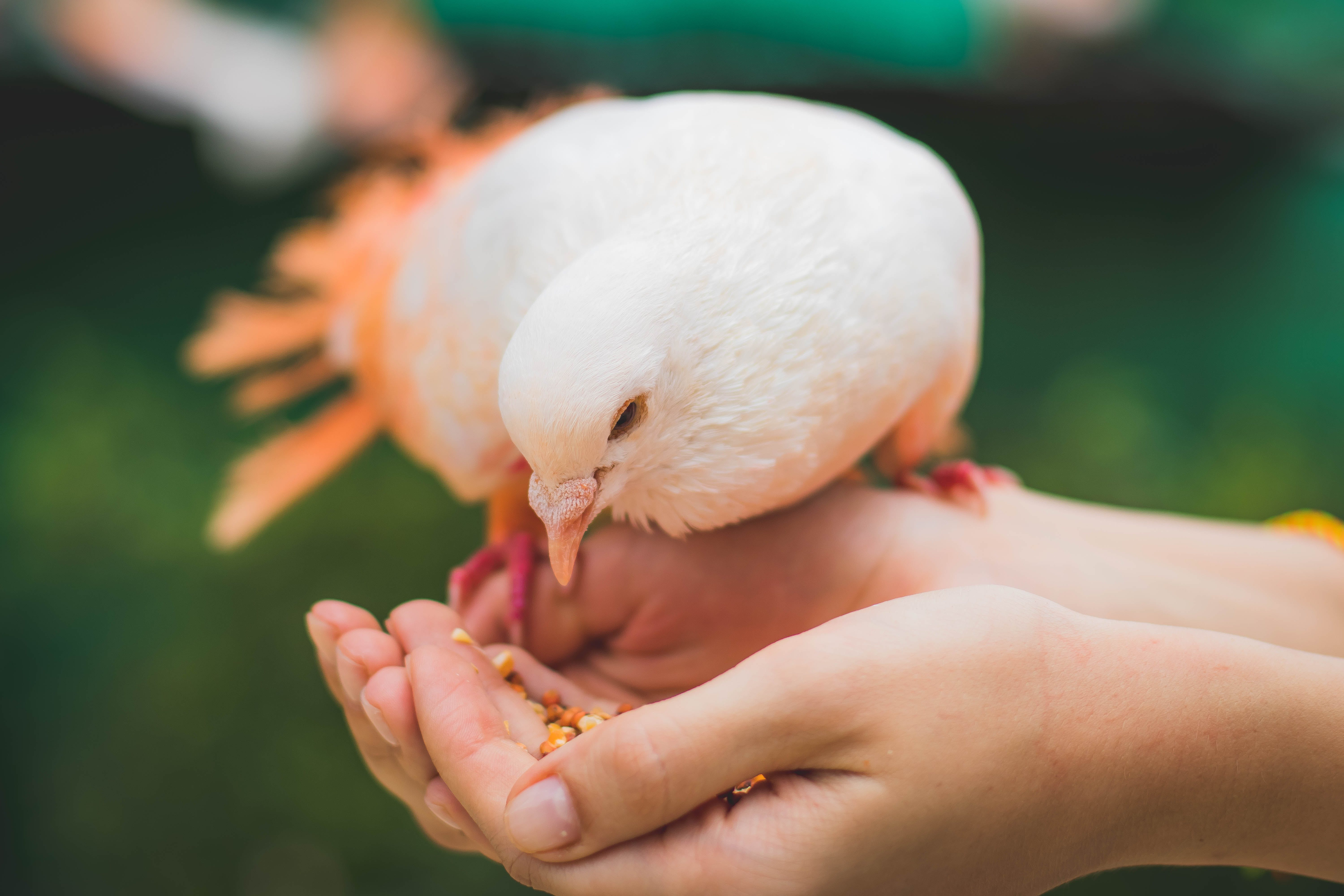 Close Up Photograph Of Person Feeding White Pigeon