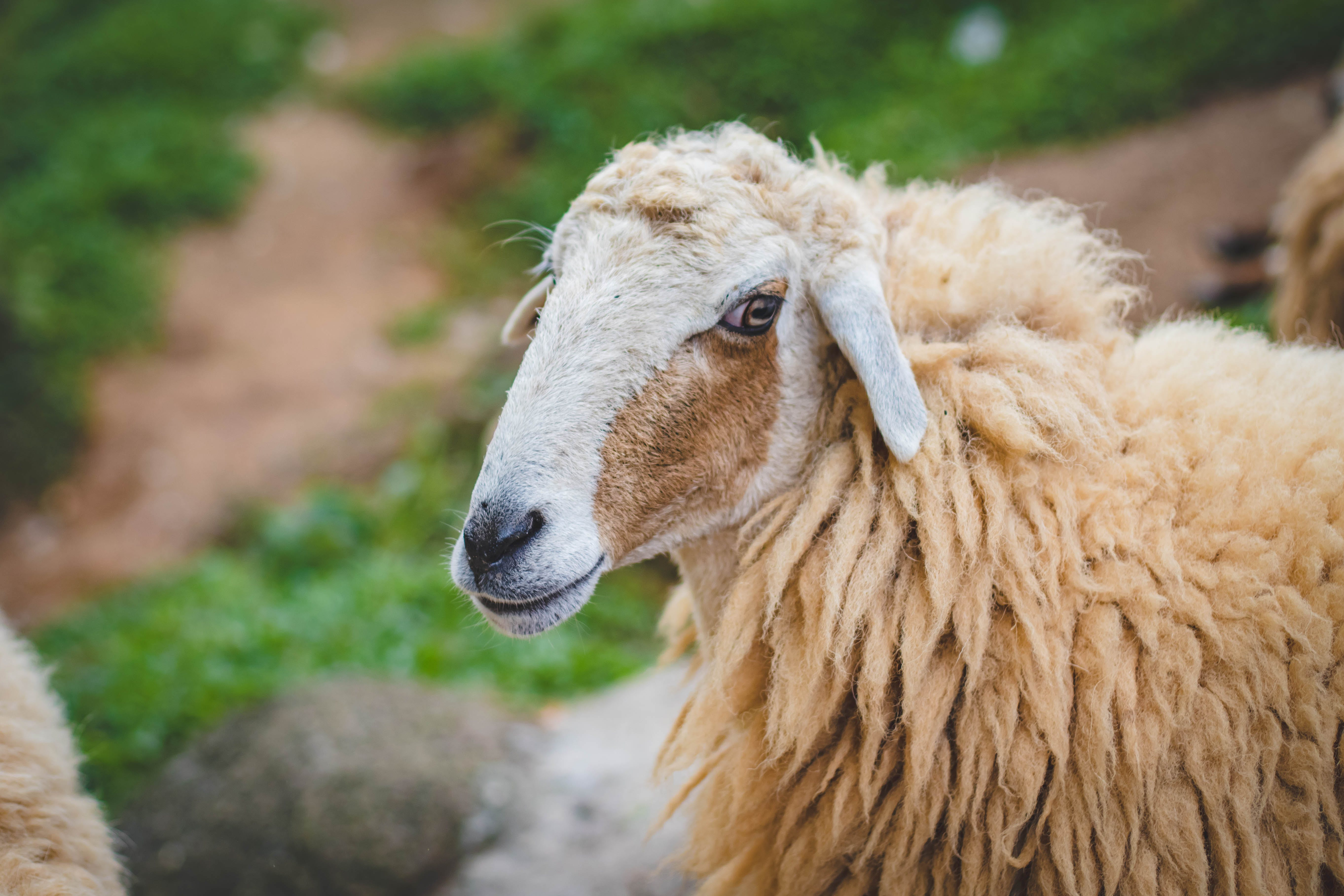 Photography Of Sheep