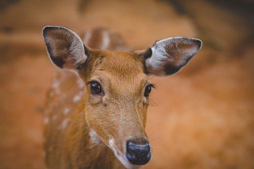 Δωρεάν στοκ φωτογραφιών με άγρια φύση, άγριο ζώο, αντιλόπη, γλυκούλι