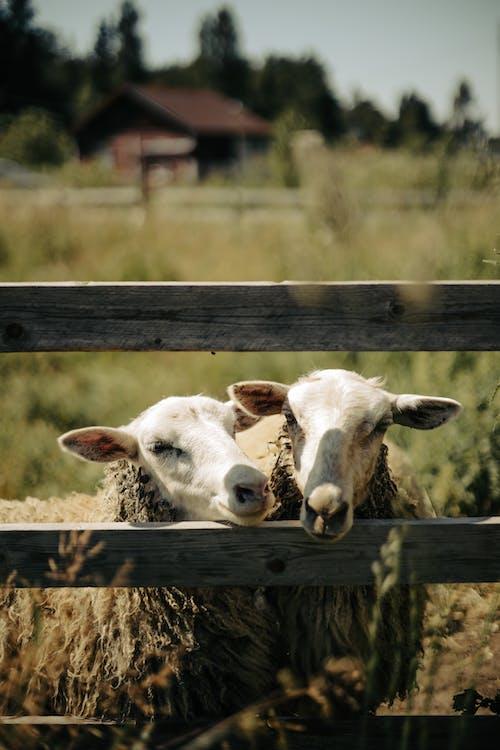 Imagine de stoc gratuită din a închide, animal, animale de fermă