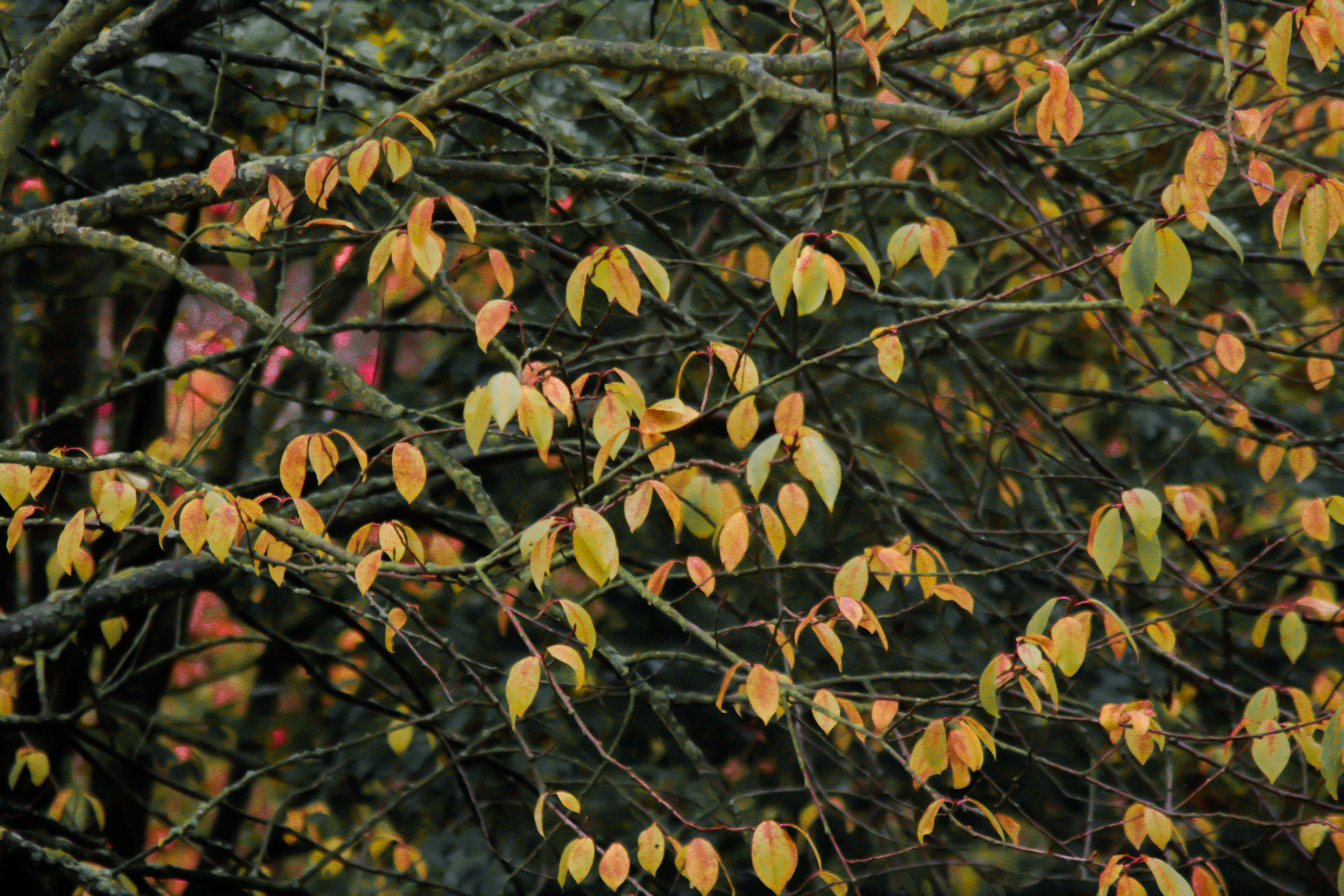 Free stock photo of autumn, autumn colours, fall, leaves