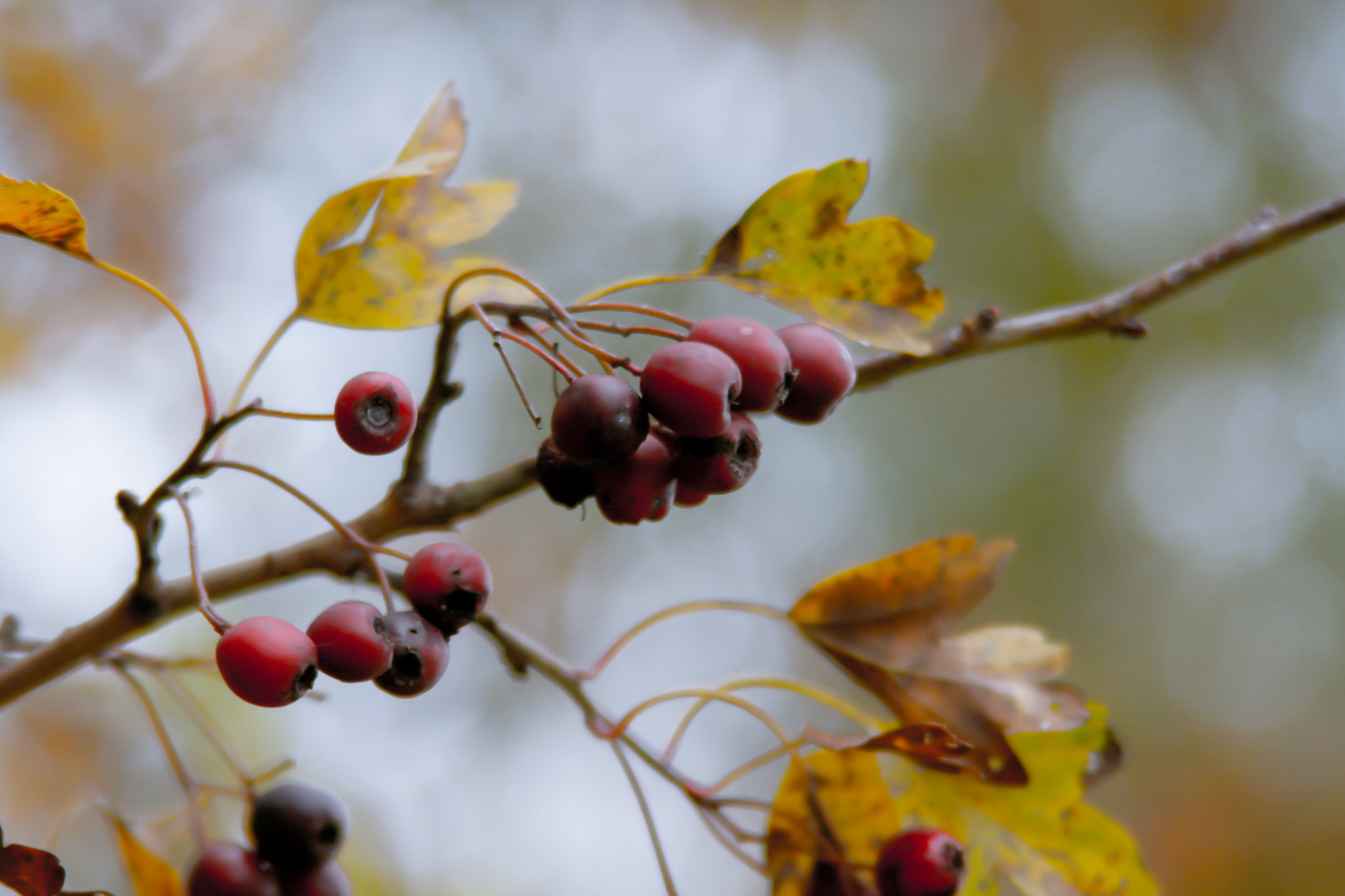 Free stock photo of autumn colours, autumn leaves, berries, bokeh