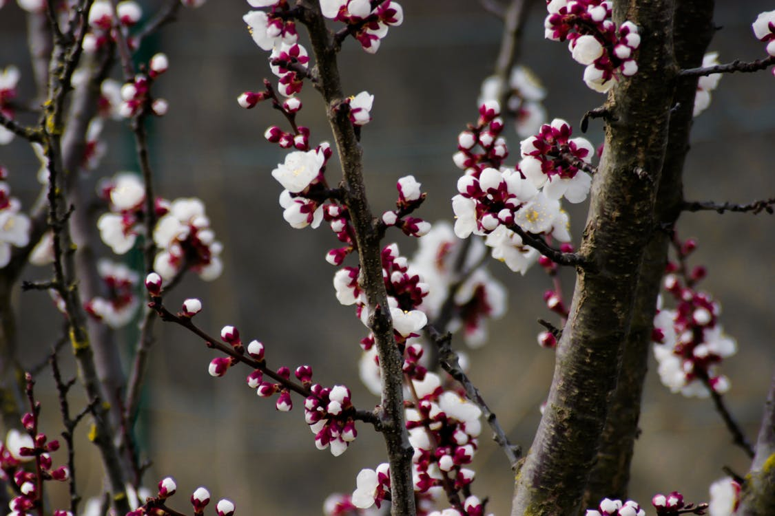 árbol, cerezos en flor, crecimiento