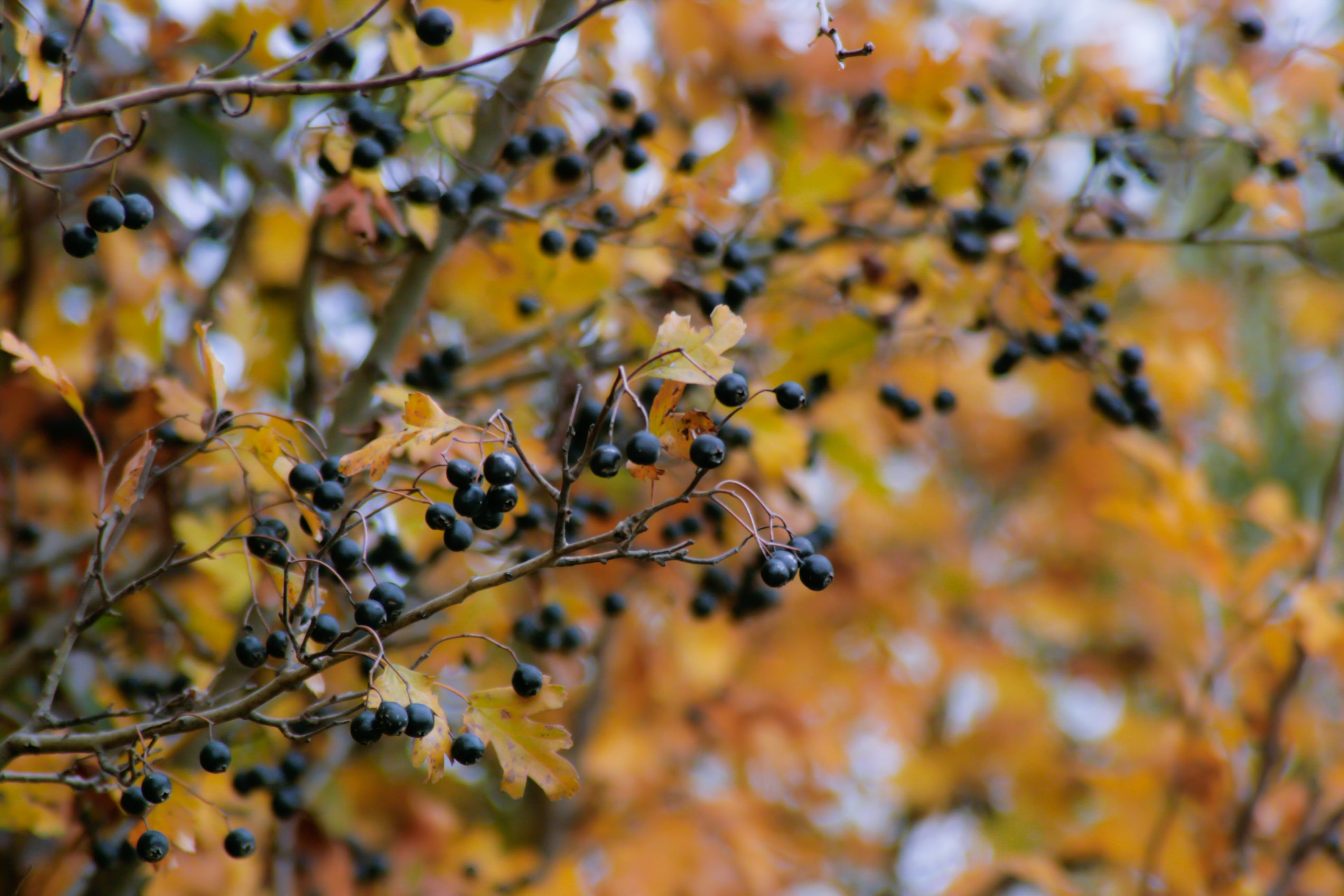 Free stock photo of autumn, autumn colours, berries, nature