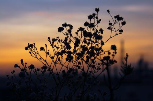 Photos gratuites de à contre-jour, aube, crépuscule, fleur